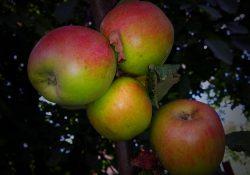 Økologisk Firmafrugt